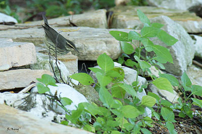 Photograph - Northern Waterthrush By The Stream by Roena King