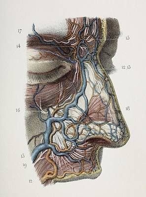 Nose Nerves And Vessels, 1844 Artwork Art Print by