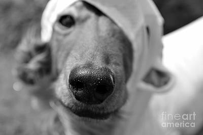 Dachshund Photograph - Nosey by Dean Harte