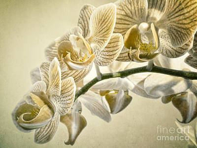 Photograph - Nostalgic Orchids by Frank Waechter