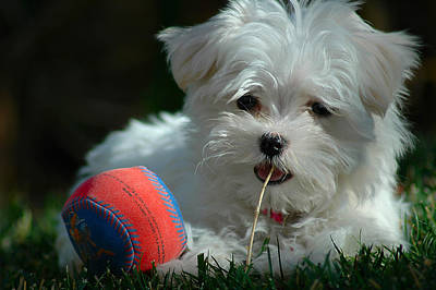 Maltese Puppy Photograph - Not Just Sugar And Spice by Lynn Bauer