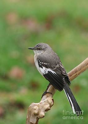 Photograph - Nothern Mockingbird by Jack R Brock