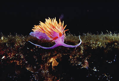 Nudibranch Brightly Colored Arctic Ocean Art Print by Flip Nicklin
