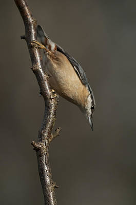 Tree Photograph - Nuthatch by Andy Astbury