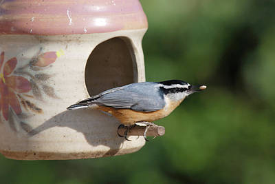 Photograph - Nuthatch At Feeder by Jan Piet
