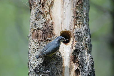 Photograph - Nuthatch Feeding Young by Jan Piet