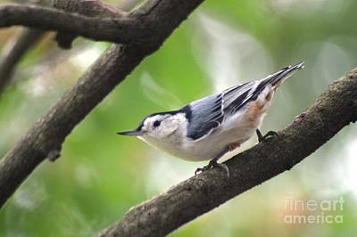 Photograph - Nuthatch by Living Color Photography Lorraine Lynch