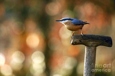 Photograph - Nuthatch by Richard Thomas