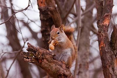 Photograph - Nutty Squirrel by Josef Pittner