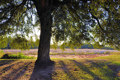 Photograph - Oak And Cotton Fields by Jan Amiss Photography