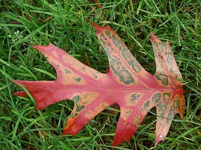 Photograph - Oak Leaf by Angi Parks