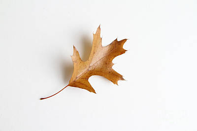 Photograph - Oak Leaf by Photo Researchers