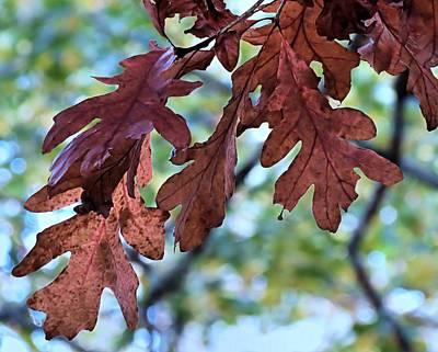 Photograph - Oak Leaves by Janice Drew