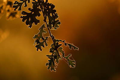 Photograph - Oak Leaves by Rima Biswas