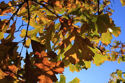 Oak Leaves With Backlighting Print by Lyle Hatch