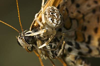 Butterfly Prey Photograph - Oak Spider And Prey by Paul Harcourt Davies