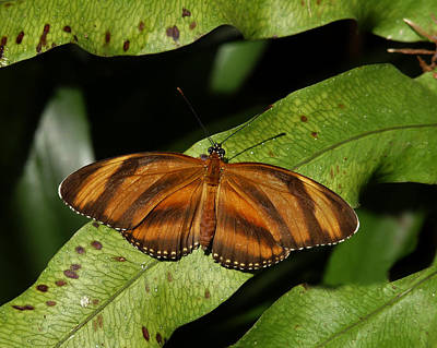 Photograph - Oak Tiger Butterfly by Chris  Kusik