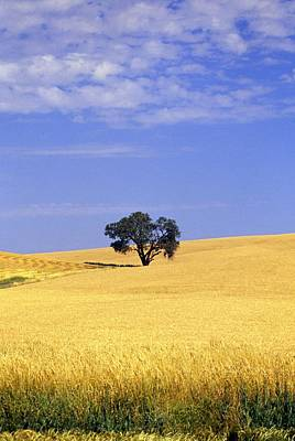 Vintage Pharmacy - Oak Tree In Wheat Field by Natural Selection Craig Tuttle