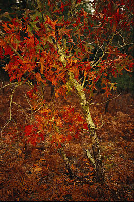 Lake Waccamaw Photograph - Oak Tree With Fall Foliage Standing by Raymond Gehman