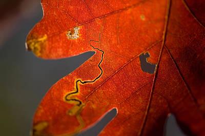 Middlebury Photograph - Oak Trees Reach Their Peak Of Fall by Joel Sartore