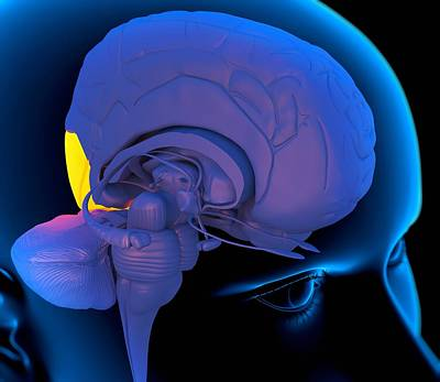 Processor Photograph - Occipital Lobe In The Brain, Artwork by Roger Harris