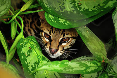 Photograph - Ocelot by Harry Spitz