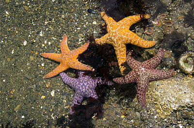 Purple Sea Stars Wall Art - Photograph - Ochre Sea Stars by Peter Scoones