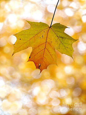 October Maple Leaf Art Print by Angie Rea