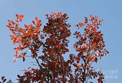 Photograph - October Oak by Shawn Naranjo