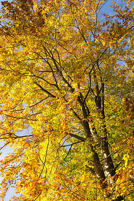 Photograph - October Tree - Golden And Yellow Fall Colors  by Matthias Hauser