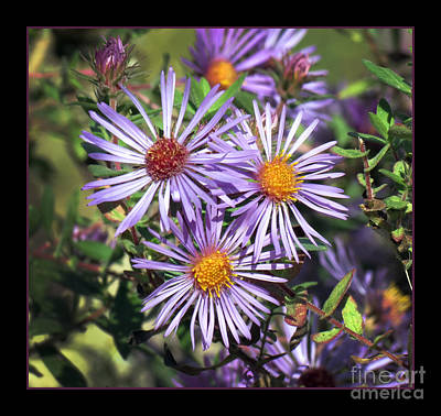 Odd Aster Out Art Print by Darleen Stry