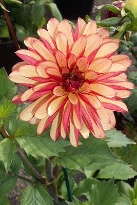 Photograph - Oh Dahlia You Beauty by Pamela Roberts-Aue