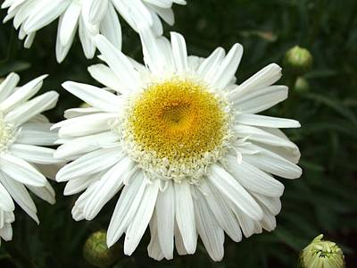 Art Print featuring the photograph Oh Daisy by Carol Sweetwood