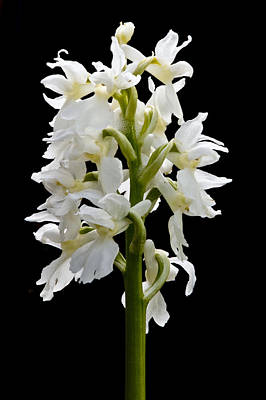 Art Print featuring the photograph O'kelly's Spotted Orchid by Rob Hemphill