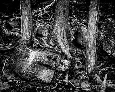 Minnesota Grown Photograph - Old Cedar by Perry Webster