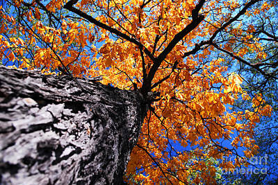 Old Elm Tree In The Fall Art Print