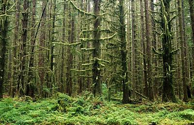 Old Growth Forest In The Hoh Rain Print by Natural Selection Craig Tuttle