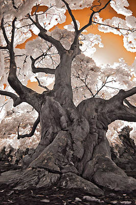 Photograph - Old Japanese Maple by Steve Zimic