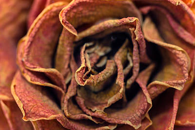 Photograph - Old Rose by Daniel Kulinski