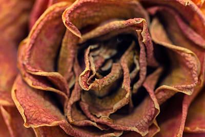 Photograph - Old Rose by Daniel Kulinski