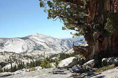 Old Tree At Yosemite National Park Art Print by Mmm