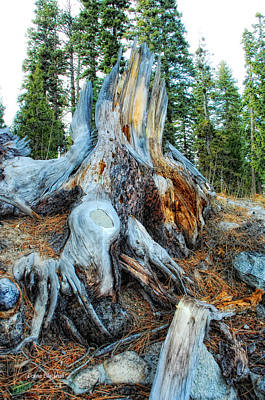 Tree Roots Photograph - Old Warrior by Donna Blackhall