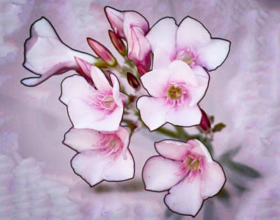 Oleander Blossoms Art Print by Jim Painter