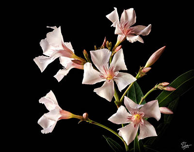 Photograph - Oleander by Endre Balogh