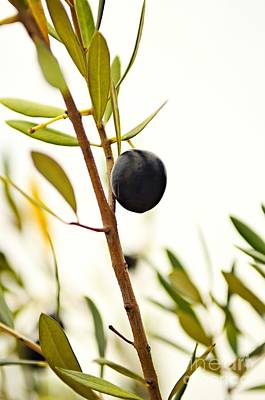 Photograph - Olive Branch by Dean Harte
