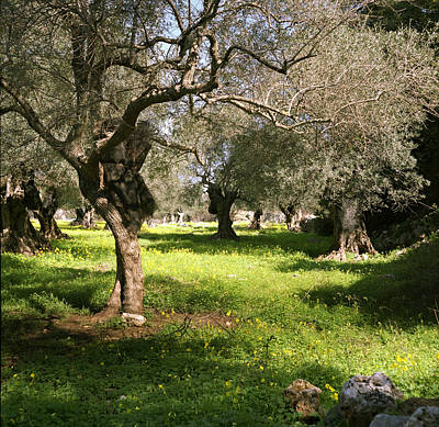 Photograph - Olive Grove In Spring by Paul Cowan