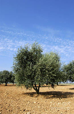 The Plateaus Photograph - Olive Tree In Provence by Bernard Jaubert
