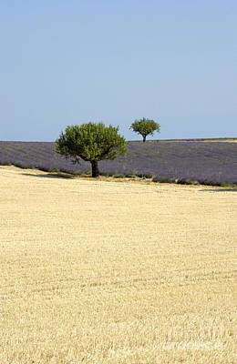 Traveller Photograph - Olive Trees. Provence by Bernard Jaubert