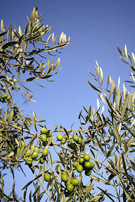 Olives Print by Carlos Dominguez