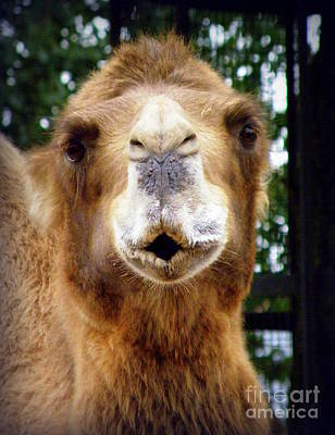 Omar The Camel Art Print by Lainie Wrightson